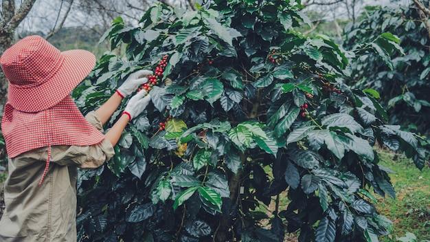 Agricultura, café jardim café árvore com grãos de café, trabalhadoras estão colhendo grãos de café vermelhos maduros.