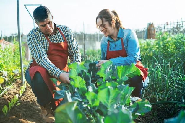 Agricultura casal examinando uma planta de brócolis em um campo cultivado