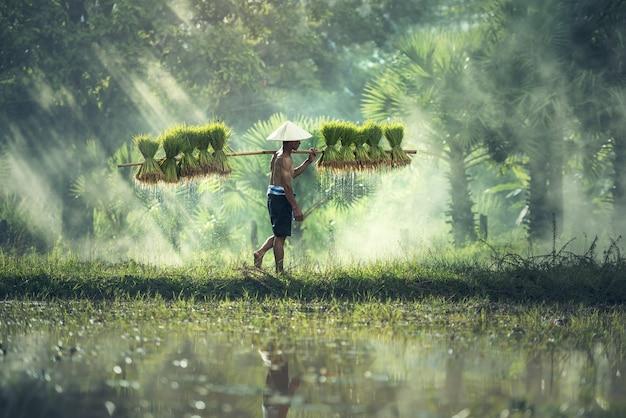 Agricultura de arroz, agricultores cultivam arroz na estação chuvosa.