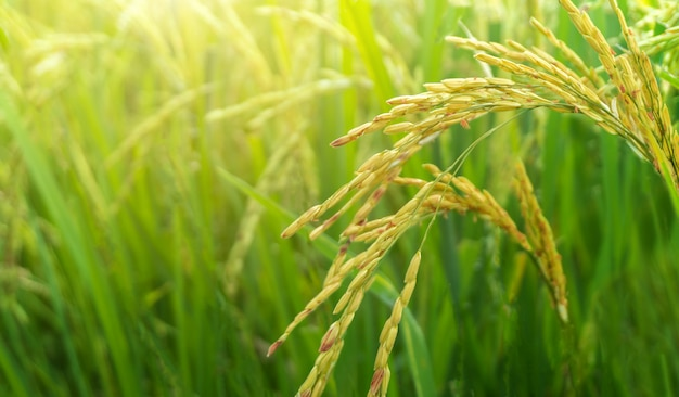 Agricultura de arrozais amarelos e verdes na província de phitsanulok