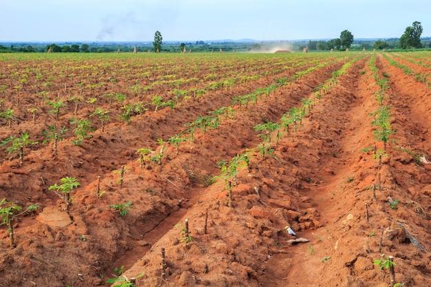 Agricultura de mandioca na tailândia