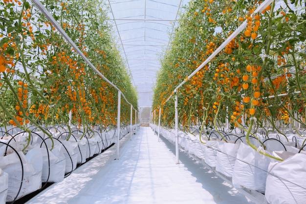 Agricultura do crescimento vermelho e amarelo maduro fresco da plantação dos tomates no jardim orgânico da estufa pronto para colher.