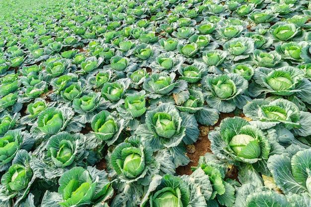 Agricultura e plantio de legumes repolho