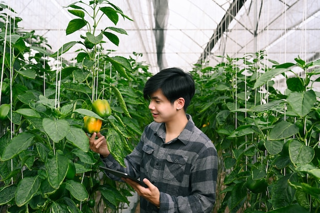 Agricultura inteligente agrícola usando tablet digital e verificando o crescimento de pimentão em estufa.