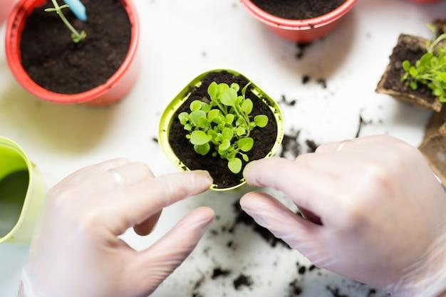 Agricultura. jovem mãos fechem plantando as mudas em recipientes com o solo.