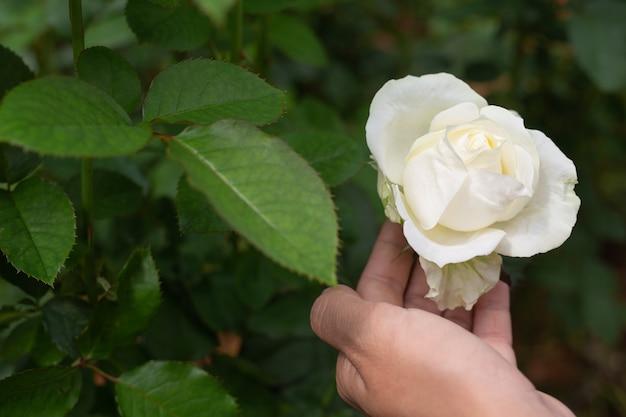 Agricultura, jovens mulheres que verificam no jardim de rosas.