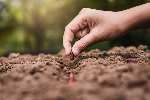 Agricultura mão plantando sementes feijão vermelho no solo