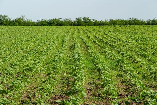 Agronomia e agricultura de jovem girassol verde