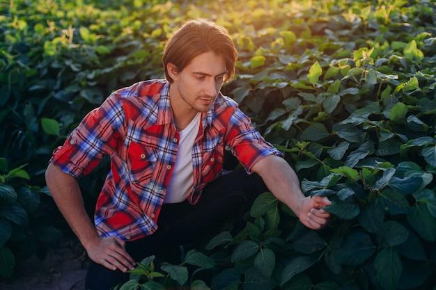 Agrônomo em um campo que toma o controle do rendimento e toca plantas no pôr-do-sol.- vista frontal
