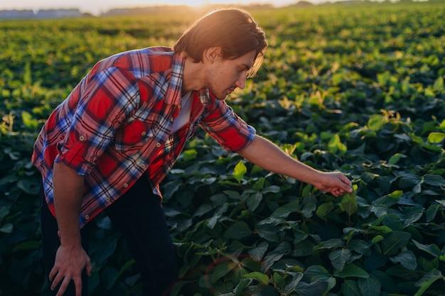 Agrônomo em um campo que toma o controle do rendimento e toca plantas no por do sol.
