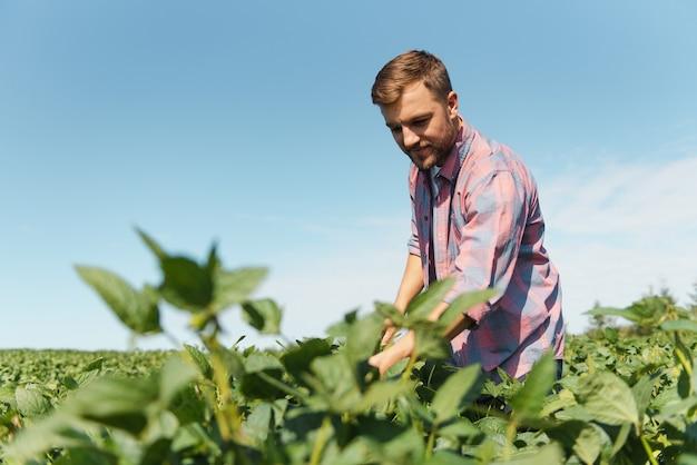 Agrônomo inspecionando safras de soja em cultivo no campo. conceito de produção agrícola. jovem agrônomo examina a safra de soja no campo no verão. fazendeiro em campo de soja