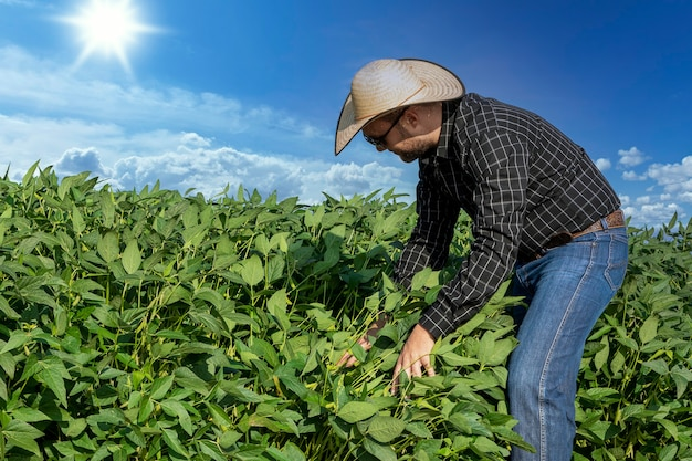 Agrônomo inspecionando safras de soja em cultivo no campo. conceito de produção agrícola.