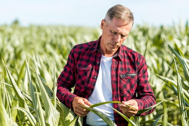 Agrônomo inspecionando uma visão média de folhas de milho