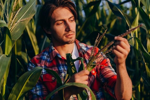 Agrônomo jovem em um milharal, assumindo atentamente o controle do rendimento e toca uma planta