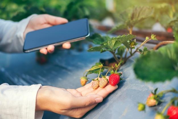 Agrônomo, mulher, usando, smartphone, verificar, moranguinho, em, orgânica, moranguinho, fazenda