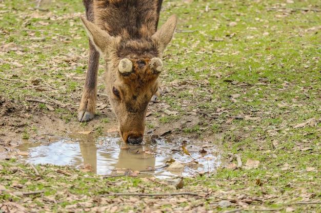 Água bebendo dos cervos bonitos amigáveis selvagens japoneses.