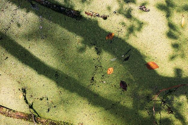 Água cheia de vegetação no lago da floresta verde do pântano coberto de lentilha d'água