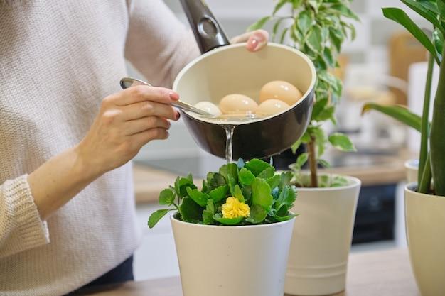 Água de fertilizante natural depois de ferver ovos, mulher que rega a planta em panela
