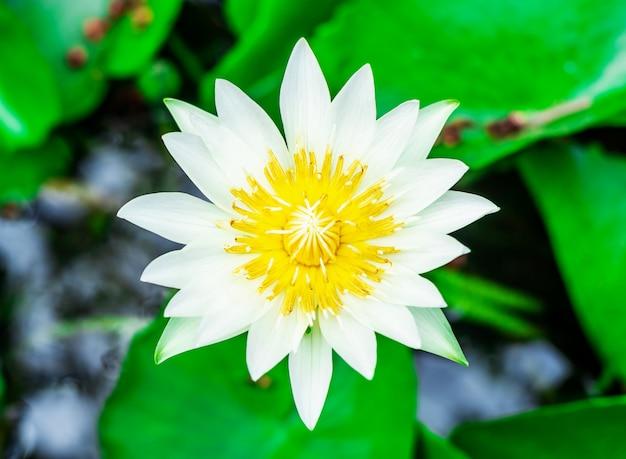 Água de lírio branco ou flor de lótus na bacia muito fresco