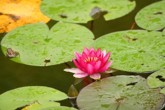 Água-de-rosa linda lilly