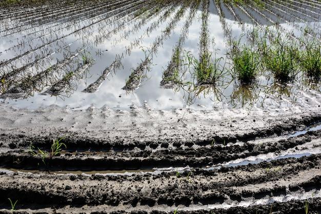 Água no meio de culturas agrícolas inundadas