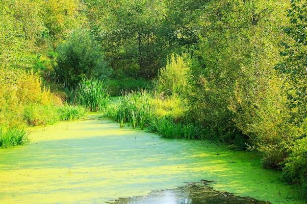 Água pantanosa em um prado de verão o sol ilumina os pântanos, algas e musgo no pântano