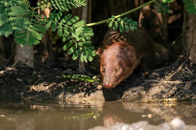 Água potável asiática pequena do mangusto em uma lagoa