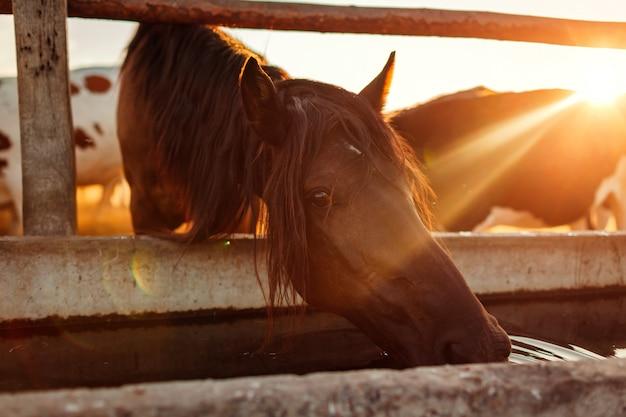 Água potável de cavalo marrom no estábulo. agricultura no campo