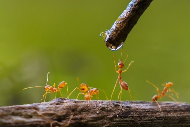 Água potável de formiga vermelha cai em um galho na natureza