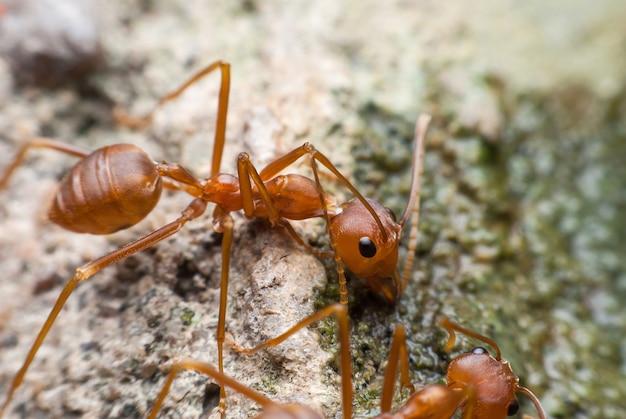 Água potável de formiga vermelha