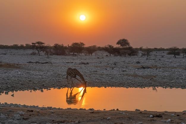 Água potável de girafa no poço de água do acampamento de okaukuejo no parque nacional de etosha, na namíbia, na áfrica.