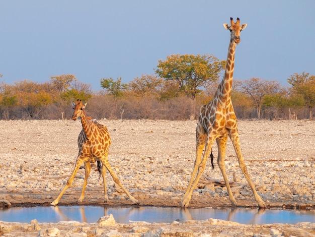 Água potável de girafas ao pôr do sol no parque nacional de etosha, na namíbia.