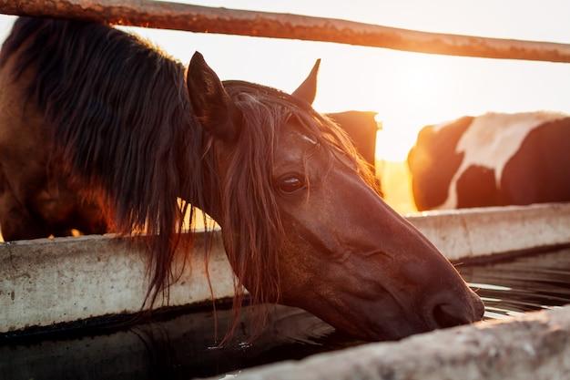 Água potável para cavalos no estábulo. agricultura no campo