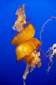 Água-viva laranja em um aquário com água azul