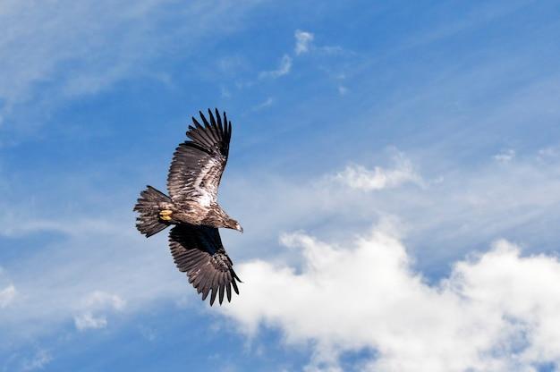 Águia americana juvenil voando em um céu nublado