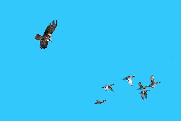 Águia caçando patos