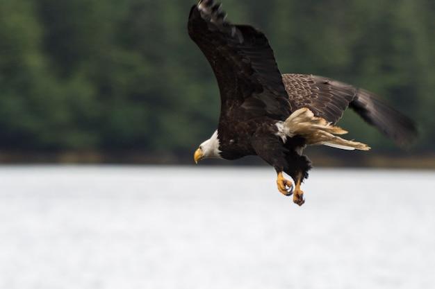 Águia calva, voando, skeena-queen, charlotte, regional, distrito, haida, gwaii, graham, ilha, britânico, col