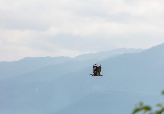 Águia careca americana em voo contra o céu azul claro do alasca