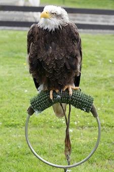 Águia careca americana (haliaeetus leucocephalus) empoleirada em um estalajadeiro artificial
