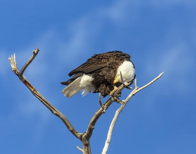 Águia careca empoleirada em árvore