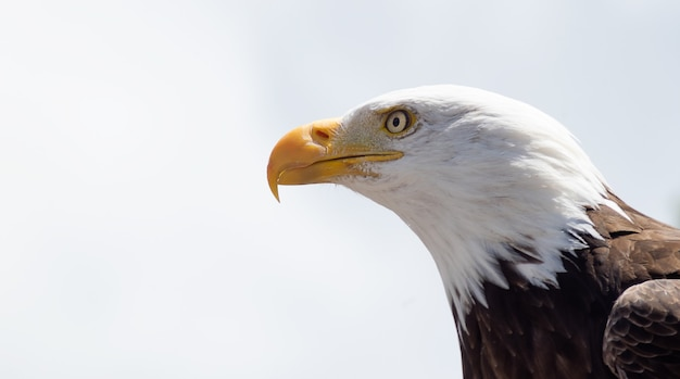 Águia careca grande com olhos transparentes