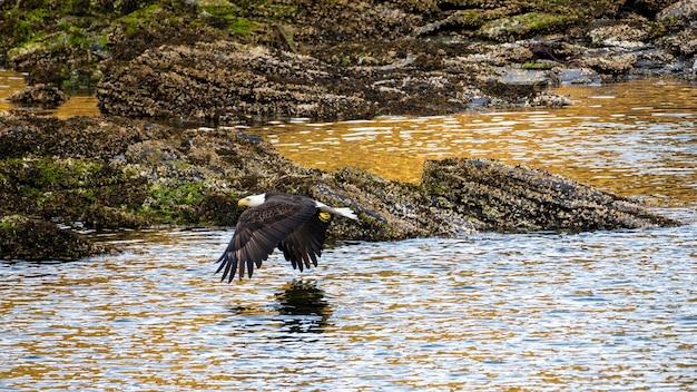 Águia careca voando sobre o oceano perto do pôr do sol com rocky shoreline
