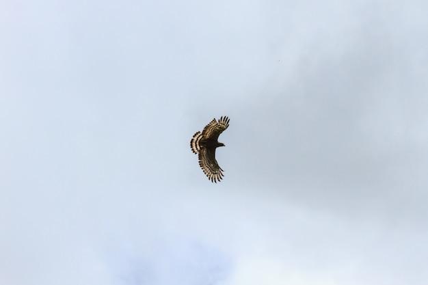 Águia-cobreira-de-crista