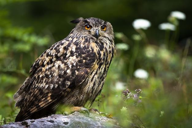 Águia-coruja da eurásia sentado em uma pedra na floresta de verão