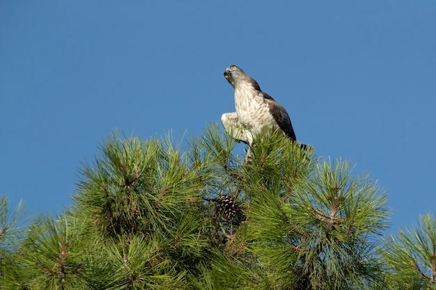 Águia-curta macho em um pinheiro com a primeira luz do amanhecer