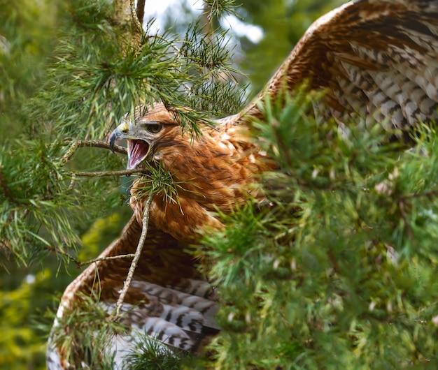 Águia da estepe na floresta entre os ramos