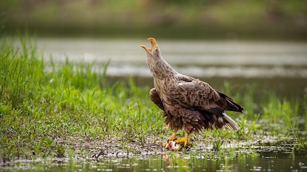 Águia-de-cauda-branca chamando com bico aberto na beira do rio