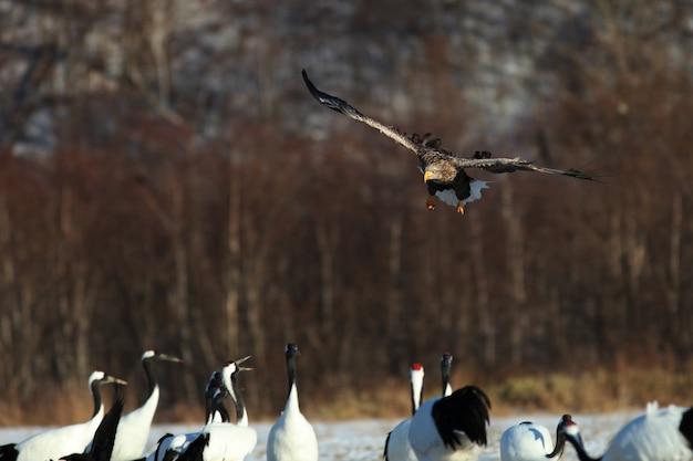 Águia de cauda branca voando acima do grupo de guindastes de pescoço preto em hokkaido, no japão
