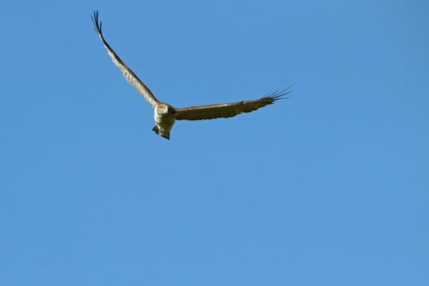 Águia de pés curtos macho voando com a primeira luz do amanhecer