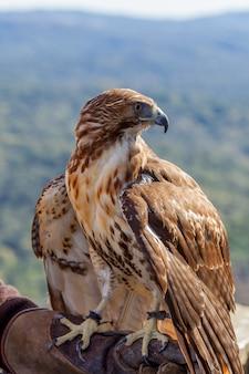 Águia de rabo vermelho (buteo jamaicensis)